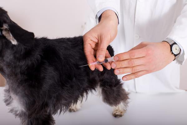 Impfung von Welpen. Bild.